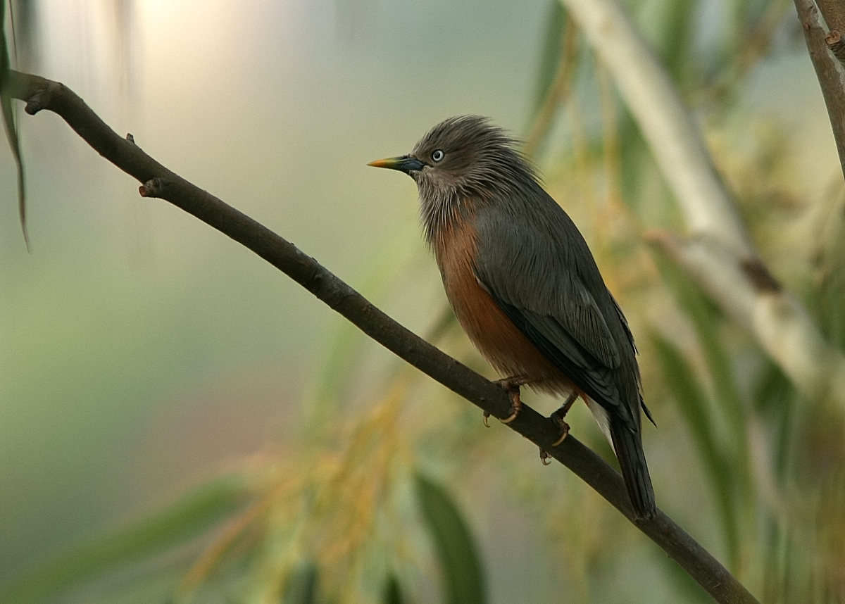 Chestnut-tailed Starling | Birds@IITK