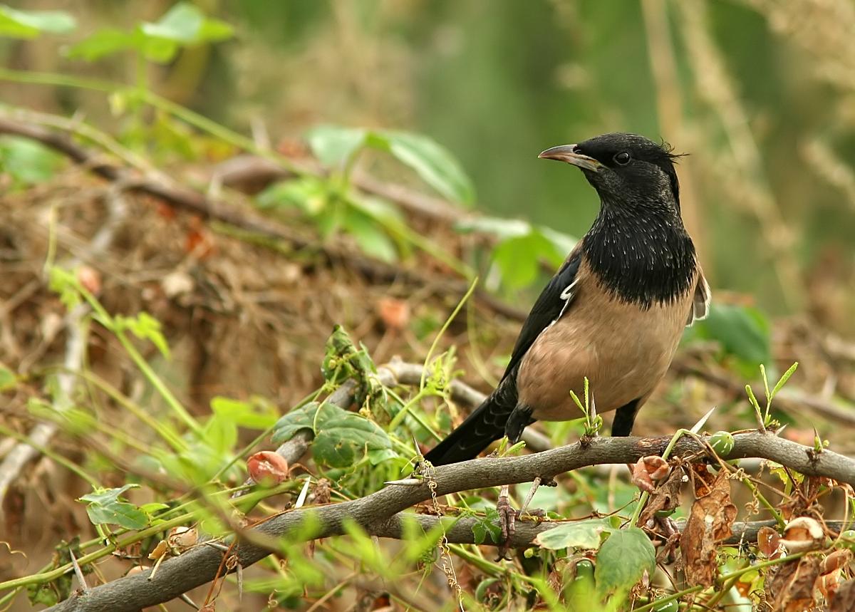 Rosy Starling | Birds@IITK