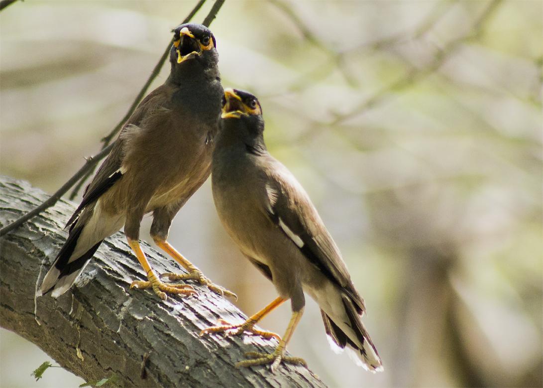 Common Myna | Birds@IITK - photo#26